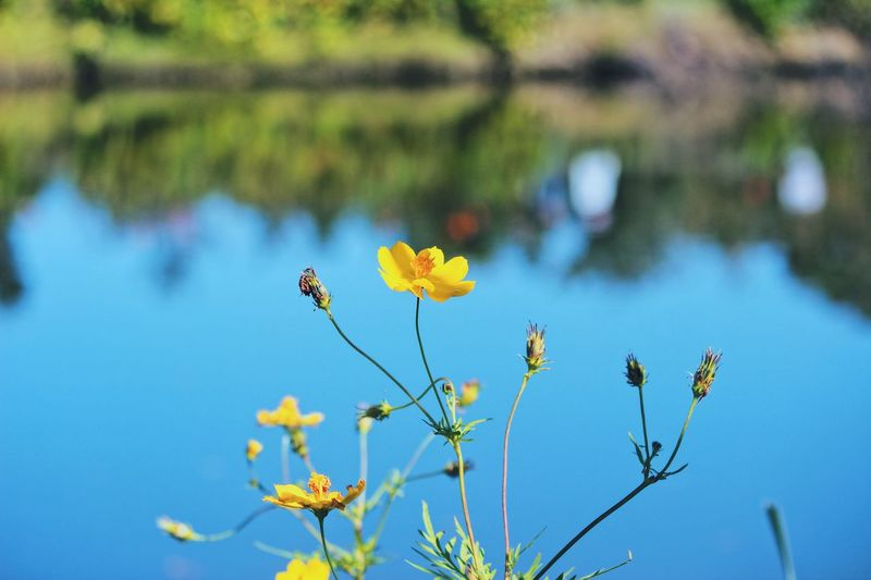 Yellow flowers. Reflection Pond Lake Water Naturelovers Japan Japan Photography Plant Growth Beauty In Nature Flower Flowering Plant Focus On Foreground Fragility Nature Day Freshness Vulnerability  No People Close-up Outdoors Blue Sunlight Branch Sky Tranquility Yellow