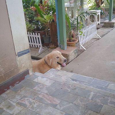 ครับพี่ ผมไม่กล้ามีปัญหากับพี่หรอกครับ มองซะขนาดนี้ 😩😣😧 Dog Pet Pet13 Goldenretriever Instadog Looking