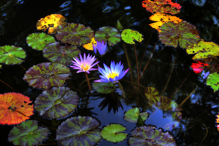 Floating on the pond Pond Aquatic Plant Beauty In Nature Floating Floating On Water Flower Flower Head Flowering Plant Growth Lake Leaf Lily Pond, Nature, River, Water, Pond Nature Outdoors Petal Plant Plant Part Purple Water Water Lily