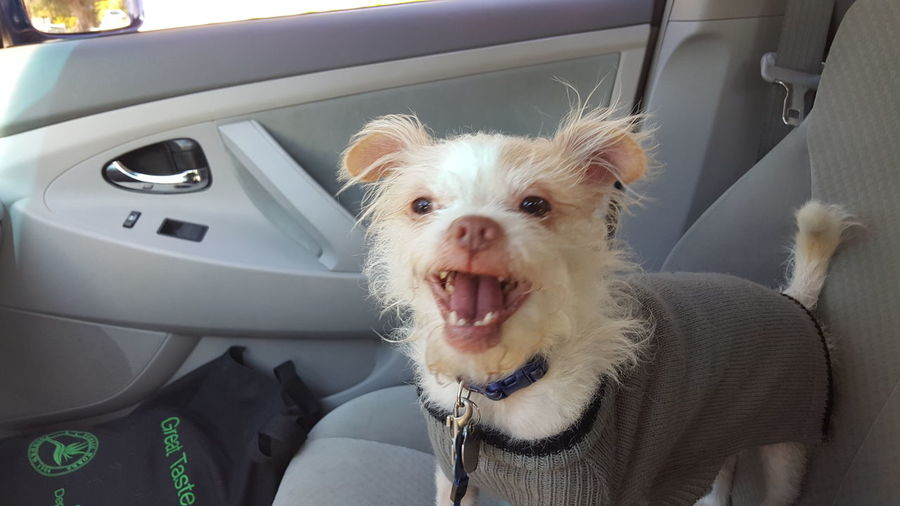 I love to ride in the car! Car One Animal Dog Love Smiling Smiling Is My Addiction ❤✌ Smiling Dog White Dog No People Riding In The Car Small Dogs