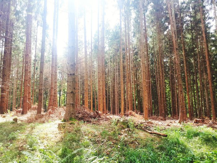 German Forest Vellahn Countryside Forestscape Sunshine ARTfoxHH Tree Forest Tree Trunk Wilderness Area WoodLand Sky Landscape Pine Tree Pine Woodland Pine Wood Tree Area Needle - Plant Part EyeEmNewHere