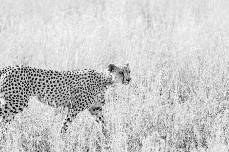 Side view of cheetah in savannah