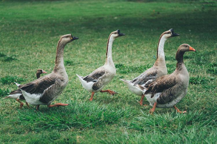 Flock of birds walking on grass