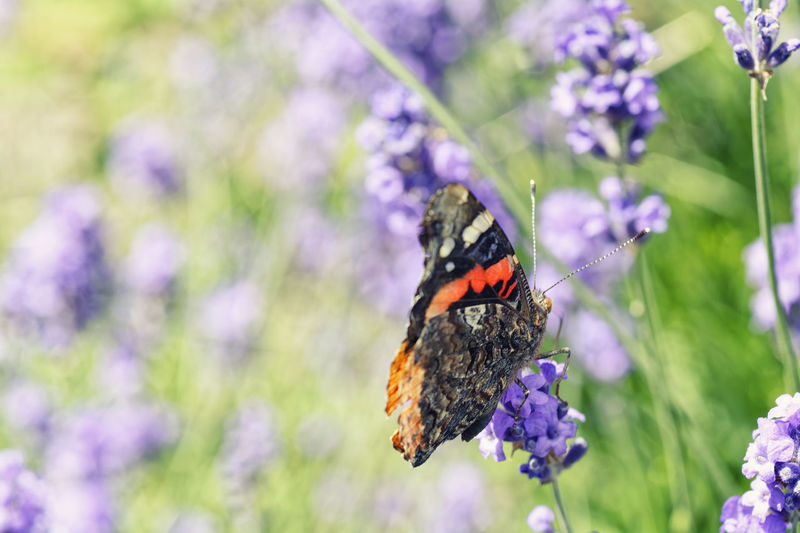 Breaking Up A Lavender World Animal Themes Animal Wildlife Animals In The Wild Beauty In Nature Butterfly - Insect Close-up Day Flower Flower Head Focus On Foreground Fragility Freshness Growth Insect Nature No People One Animal Outdoors Petal Plant Pollination Purple