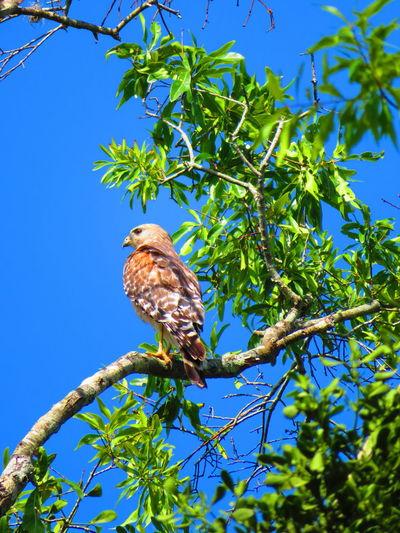 Hawk in nature on branch Florida Hawks Hawks Of Eyeem Hawk Hawk - Bird Bird Tree Perching Branch Full Length Blue Clear Sky Sky Animal Themes Bird Of Prey