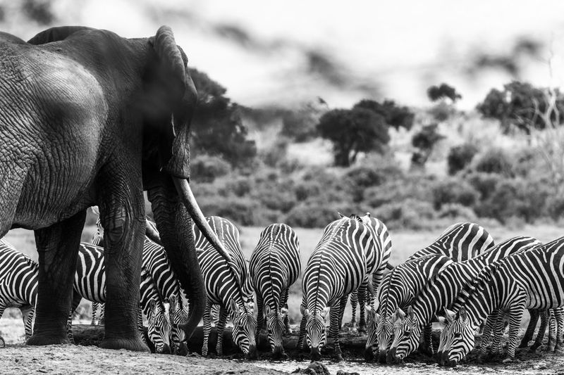 Zebras with elephant drinking water