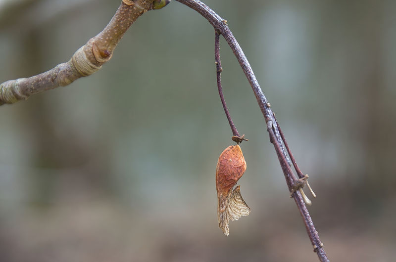Close-up of dry plant hanging on twig