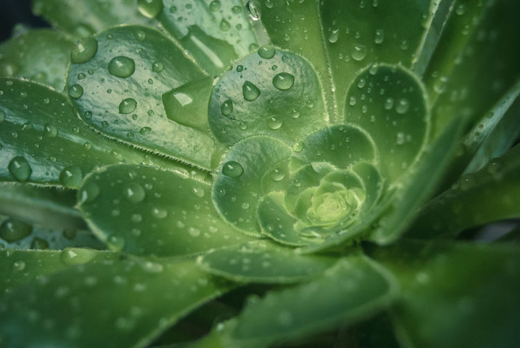 raindrops on cactus Backgrounds Beauty In Nature Cactus Close-up Dew Drop Fragility Freshness Full Frame Green Color Green Leaves Leaf Nature No People Pattern Plant Purity Rain Rain RainDrop Raindrops Raindrops On Leaves Succulent Plant Water Wet