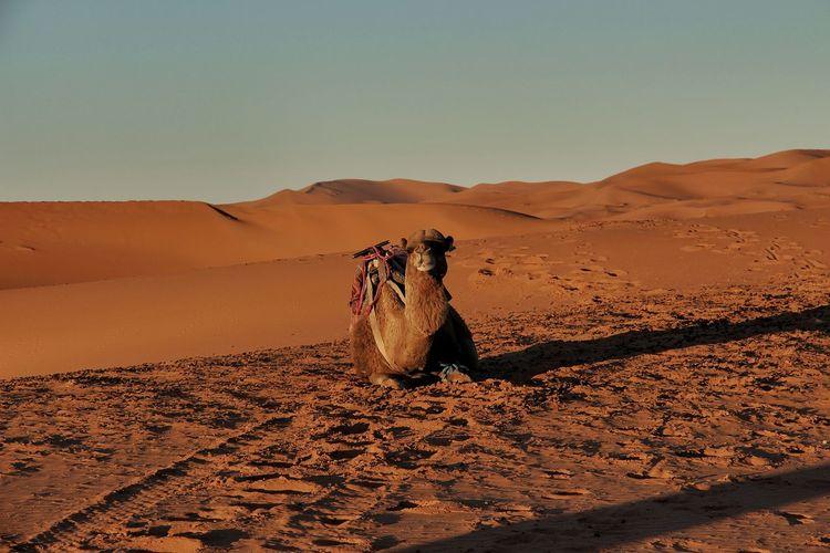 Camel relaxing on sand at desert against clear sky