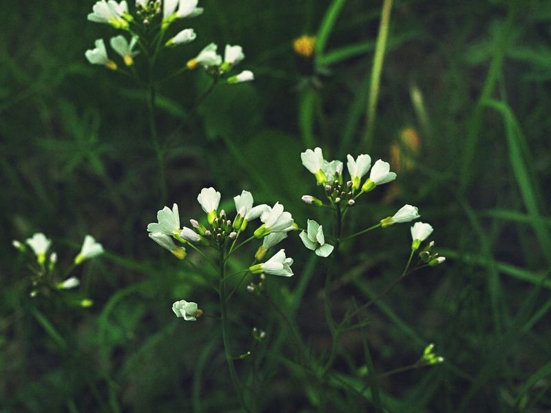 Cardamine pratensis (cuckooflower) Wildflower Beauty In Nature Wilderness Cuckooflower EyeEm Nature Lover Cardamine Pratensis Nature Photography Beauty In Nature Blooming Flower Flower Head Growth Nature No People Outdoors Plant Spring White Color