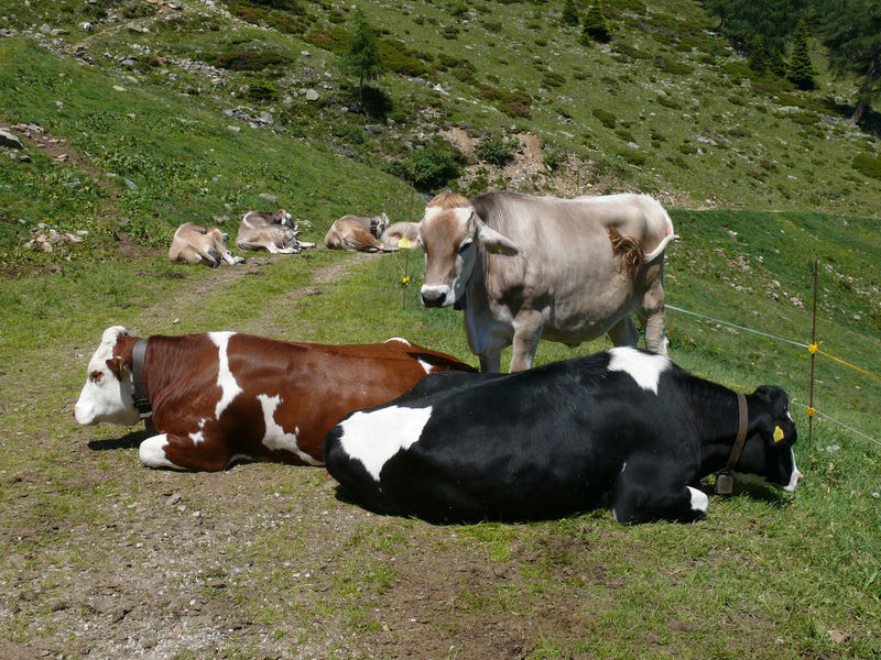 group of cows Animal Animal Themes Apls Cattle Cow Day Domestic Domestic Animals Domestic Cattle Field Grass Group Of Animals Group Of Cows Herbivorous Land Livestock Mammal Medium Group Of Animals Nature No People Outdoors Pets Plant Vertebrate
