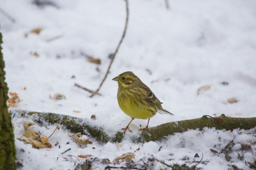 a male yellowhammer sitting in the snow searches for food on the ground in front of a fence Animal Themes Animal Wildlife Animals In The Wild Bird Close-up Cold Temperature Day Nature No People One Animal Outdoors Perching Robin Snow Sparrow Weather Winter