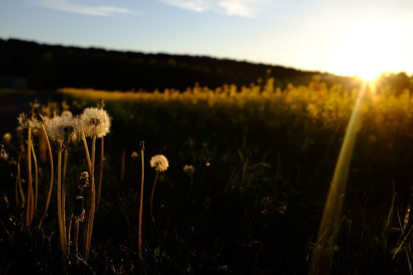 Dandelion sunset, Omberg Sweden. Growth Nature Plant Field Flower Grass Beauty In Nature Agriculture No People Landscape Outdoors Rural Scene Fragility Freshness Close-up Day