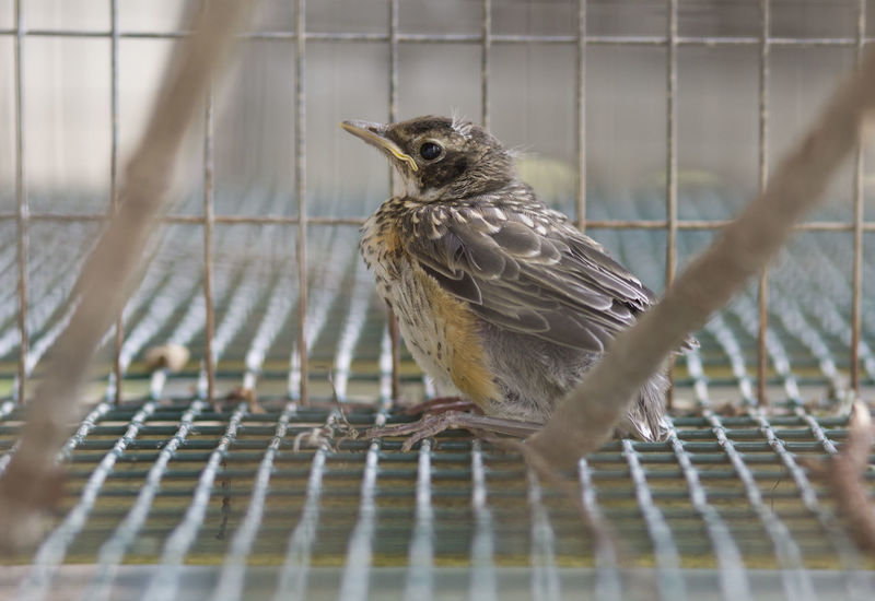 This sweet little baby robin fell from its nest and had a hard time learning to fly. Baby Bird Baby Robin Bird Photography Cage Caged Birds Captive Hatchling Hungry Robin Wildlife