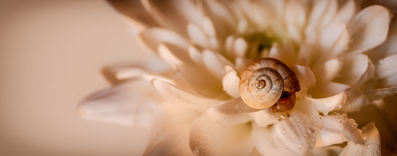 Close-up of fresh rose flower
