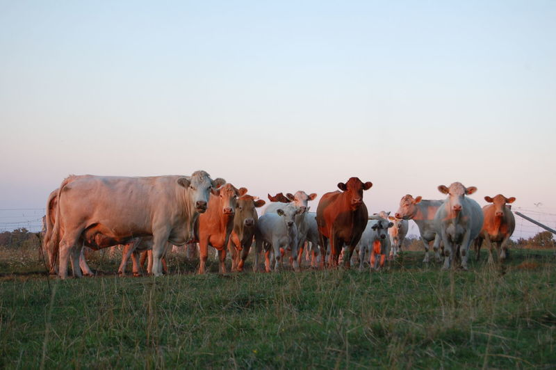 Cows standing on grassy field against clear sky during sunset