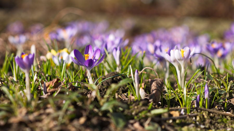 Purple Flower Grass Nature Growth Plant Field Beauty In Nature Close-up Crocus Outdoors No People Freshness Day Spring Springtime Spring Flowers Germany🇩🇪 Deutschland. Dein Tag Sunlight Growth Beauty Crocus Flower Crocuses Crocus flavus #wildflowers #guadarrama #primavera #spring #flores nature mountain