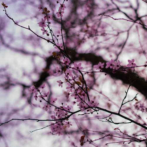 Backgrounds Beauty In Nature Blossom Bokeh Branch Cherry Blossom Close-up Day Flower Fragility Freshness Growth Low Angle View Nature No People Outdoors Pink Color Plum Blossom Sky Springtime Tree Twig