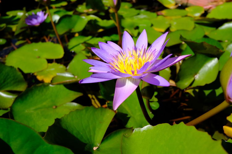 Blooming Blue Egyptian lotus, Nymphaea Caerulea. Nymphaea Caerulea Blue Egyptian Lotus Water Leaf Water Lily Petal Botanical Garden Floating On Water Flowering Plant Blossom Water Plant Pond Lotus Lily Pad Tropical Flower Botany In Bloom