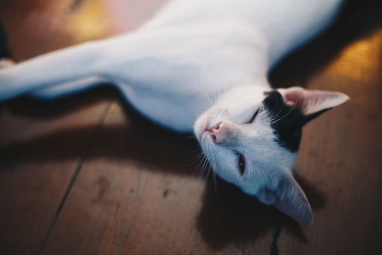 High angle portrait of cat relaxing on hardwood floor