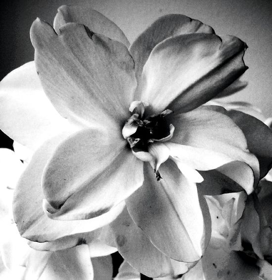 Nature Springtime Spring Flowers EyeEm Nature Lover Bw_collection Andrography Bnw Blackandwhite Fortheloveofblackandwhite Light And Shadow Monochrome Flowers Flowerporn Flower Collection Flowerslovers Flowers_collection EyeEm Best Shots - Black + White