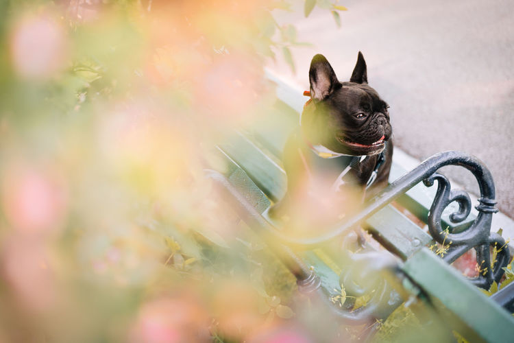 Close-up of a french bulldog dog sitting on bench in park by blooming tree in spring