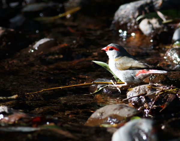Watching and waiting for it to be safe for a drink Australian Birds In The Wild Australian Bird Animal Themes Animals In The Wild Beauty In Nature Bird Close-up Day Nature No People One Animal Outdoors Perching Red Browed Finch Water