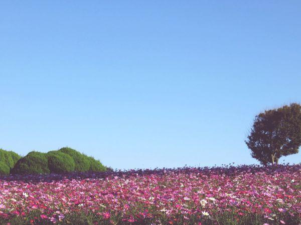 Cosmos Island Flowers
