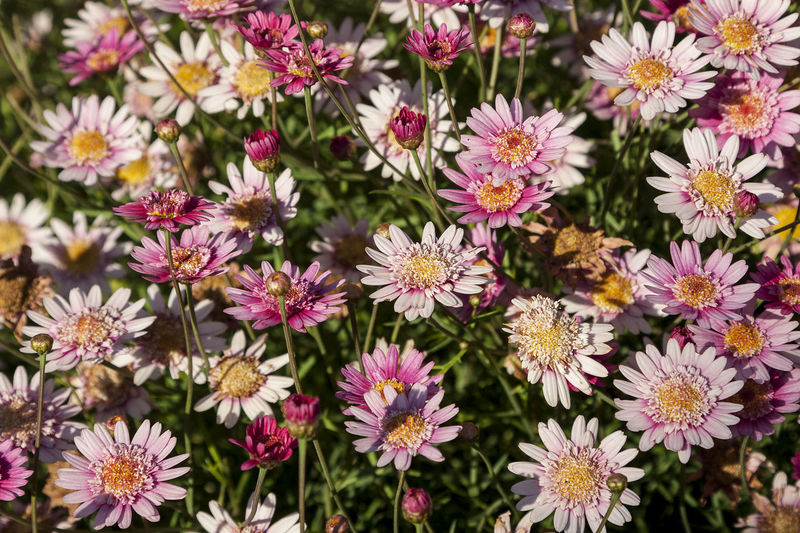 Daisy flower 01 Daisies Daisy Flower Daisy 🌼 Sunlight Background Backgrounds Beauty In Nature Close-up Daisies Between Grass Daisies Closeup Daisies In Nature Day Flower Flower Head Flowering Plant Flowers Fragility Freshness Full Frame High Angle View No People Outdoors Petal Pink Color