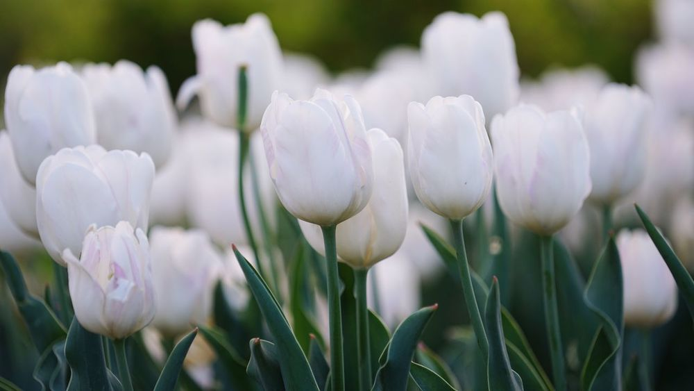 Flower Growth Nature Fragility Beauty In Nature Petal White Color Freshness Blooming Plant Flower Head Outdoors Day Snowdrop Field Close-up No People Springtime Crocus White Flower Tulips Small Flowers Spring Flowers Flowers,Plants & Garden Green Color The Great Outdoors - 2017 EyeEm Awards