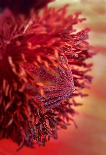 PhonePhotography Phone Photography Phone Photography Oukitel Oukitel Phone Poppy Poppy Flower Opium Poppy UnderSea In Bloom Blooming Petal Pistil