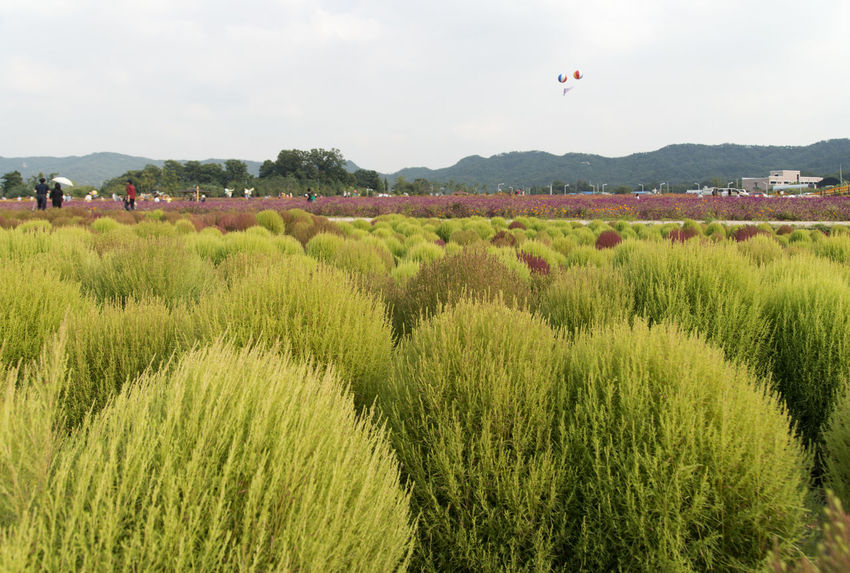 festival of globe amaranth flower with bellvedere at Nari Park in Yangju, Gyeonggido, South Korea Plant Agriculture Beauty In Nature Bellvedere Day Field Flying Grass Growth Hot Air Balloon Landscape Mid-air Nature One Person Outdoors Park People Plant Sky Tree