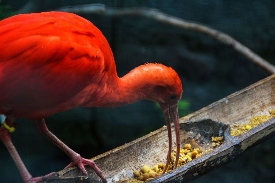 Red Outdoors Bird Beauty In Nature The Great Outdoors - 2017 EyeEm Awards Vscocam Photographer Photography Animal