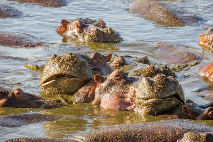 Hippopotamuses swimming in lake