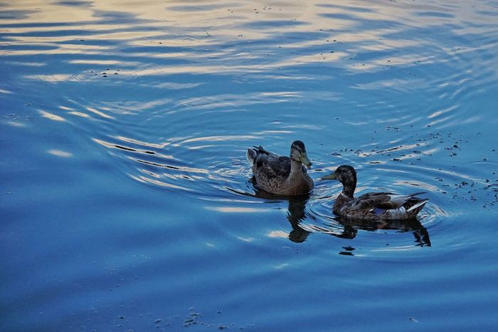 The meet up. Ducks Two Ducks Water Water Reflections