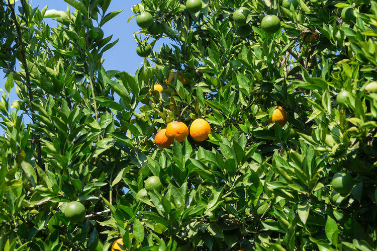 Agriculture Citrus Fruit Citrus Fruits EyeEm Best Shots EyeEm Gallery Farming Fresh Freshness Fruit Fruit Tree Fruits Fruits ♡ Green Leaves Orange Orange Plantation Orangenplantage Oranges Plantage Plantation Summer Tree