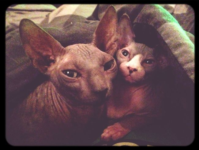 Goodnight sweeties #sphynx #cat