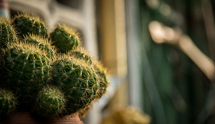 Light from the sky Barrel Cactus Beauty In Nature Cactus Close-up Day Focus On Foreground Freshness Green Color Growth Natural Pattern Nature No People Outdoors Plant Potted Plant Selective Focus Sharp Spiked Spiky Succulent Plant Thorn First Eyeem Photo