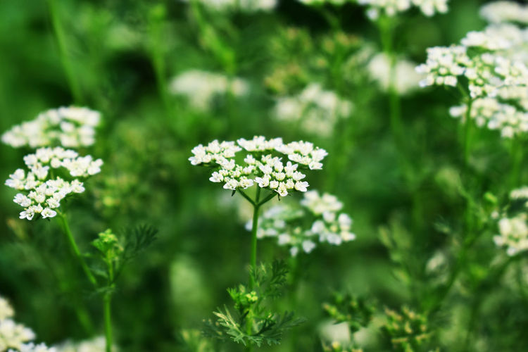 Flowering Plant Flower Plant Growth Freshness Fragility Vulnerability  Beauty In Nature Selective Focus Nature Green Color Day Close-up No People Focus On Foreground Outdoors Land Field Petal Plant Part Flower Head Small Coriander Flowers Coriander