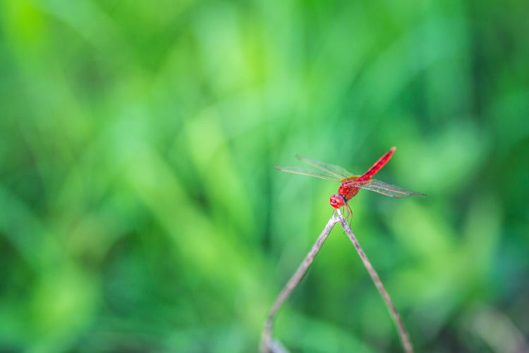 fly dragon
