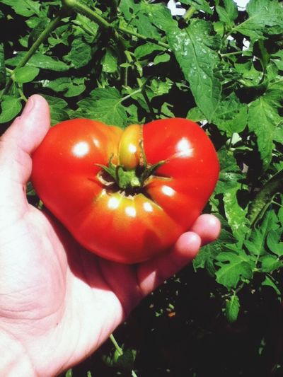 Close-up of hand holding red tomato