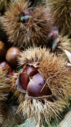 chestnuts Focus On Foreground No People Nature Animals In The Wild Animal Themes Outdoors