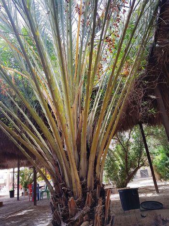 Tunisia Tunisia❤ Tunisia <3 Tunisie Tunisie Terre D'accueil Tunisia_with_love Palm Palm Leaf Palm Tree Palmtrees Plams🌴 Kebilli Tunisia❤ Kebili El Faouar Tunisia El Faouar Tunisie