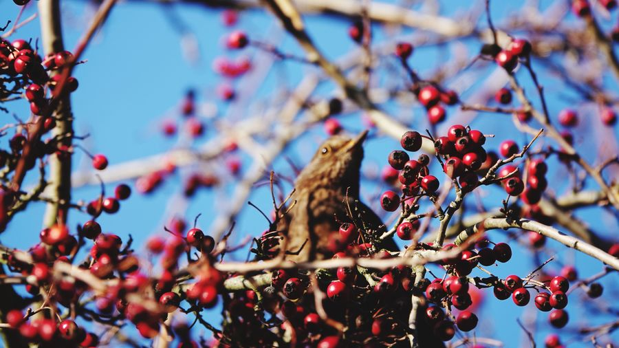 Low angle view of bird perching on berry tree
