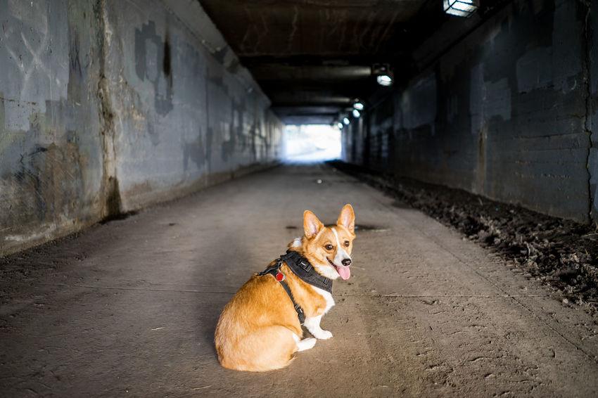 Dog Corgi Pembroke Welsh Corgi One Animal Domestic Animals Pets