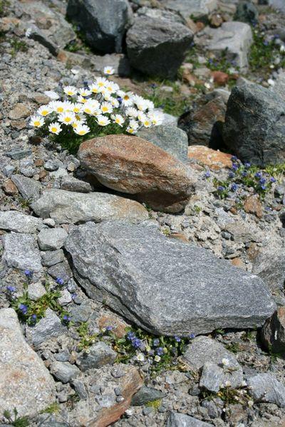 Alpine Austria Glacier Pitztal Stones And Flowers Tyrol