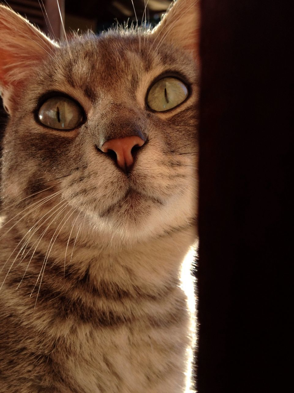 one animal, domestic animals, pets, animal themes, domestic cat, mammal, cat, feline, whisker, animal head, indoors, close-up, animal eye, portrait, looking at camera, staring, animal body part, alertness, front view