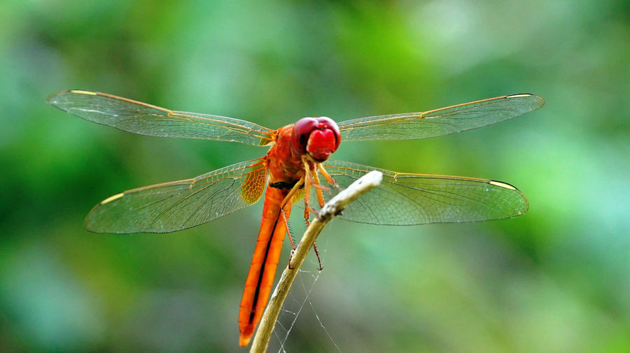 A close-up of red color dragonfly Animal Animal Body Part Animal Themes Animal Wildlife Animal Wing Animals In The Wild Beauty In Nature Close-up Day Dragonfly Focus On Foreground Insect Invertebrate Leaf Natural Condition Nature No People One Animal Outdoors Plant Plant Part Red Color Dragonfly
