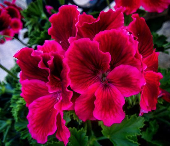 Flower Nature Petal Vibrant Color Beauty In Nature Growth Plant Pink Color Flower Head No People Fragility Red Freshness Outdoors Day Close-up Petunia