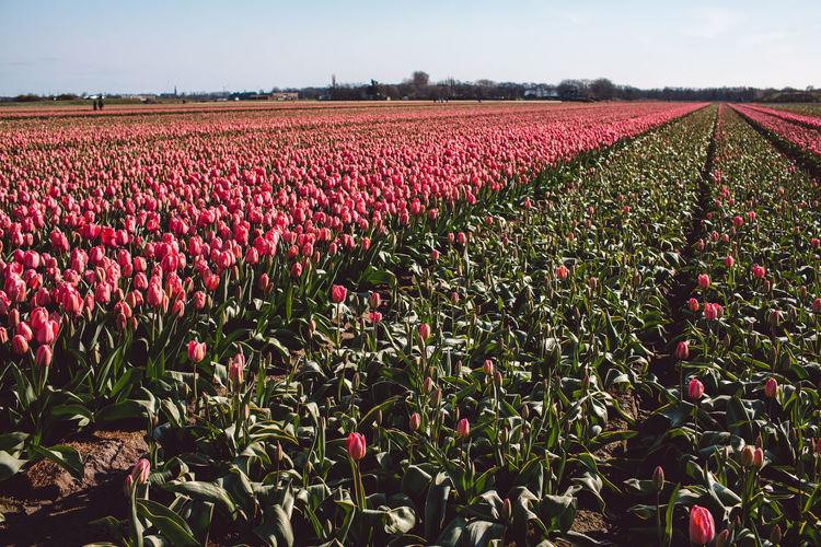 Red tulips growing in field
